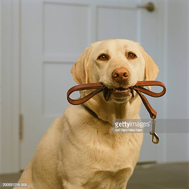 Yellow Labrador holding leash in mouth, close-up