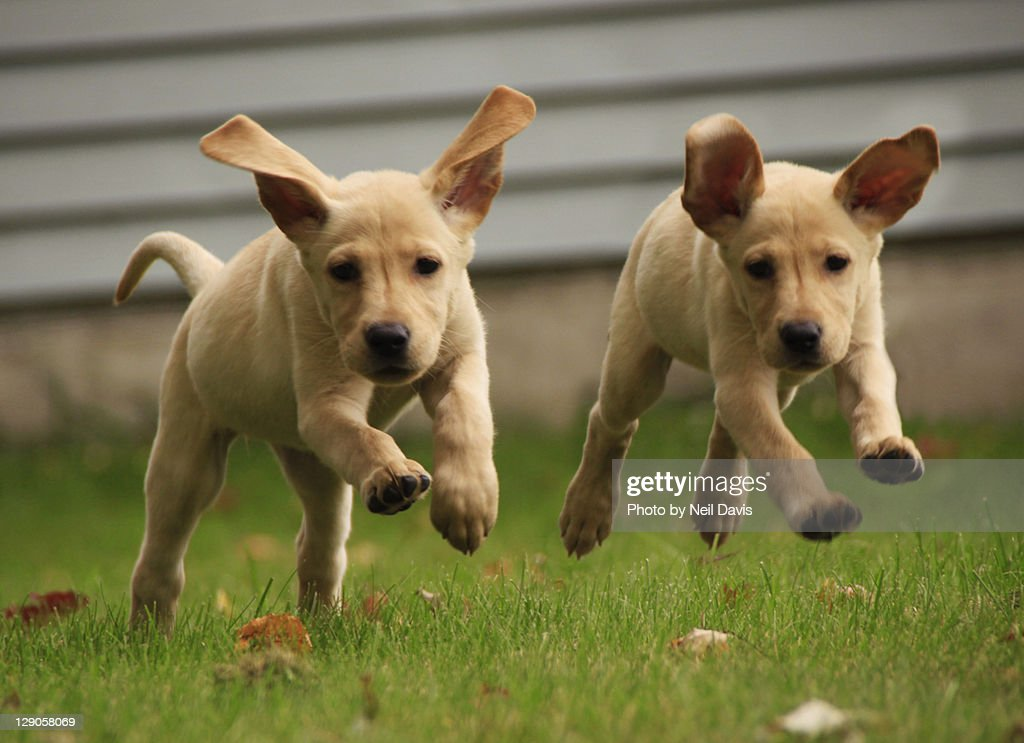 Yellow labrador puppies running