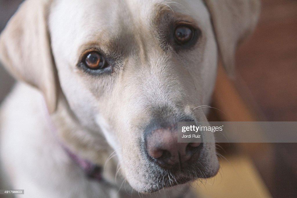 Yellow labrador retreiver : Stock Photo