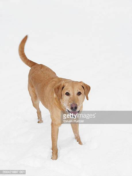 Yellow Labrador Retriever in snow