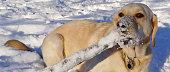 A Yellow Labrador Retriever in the Snow