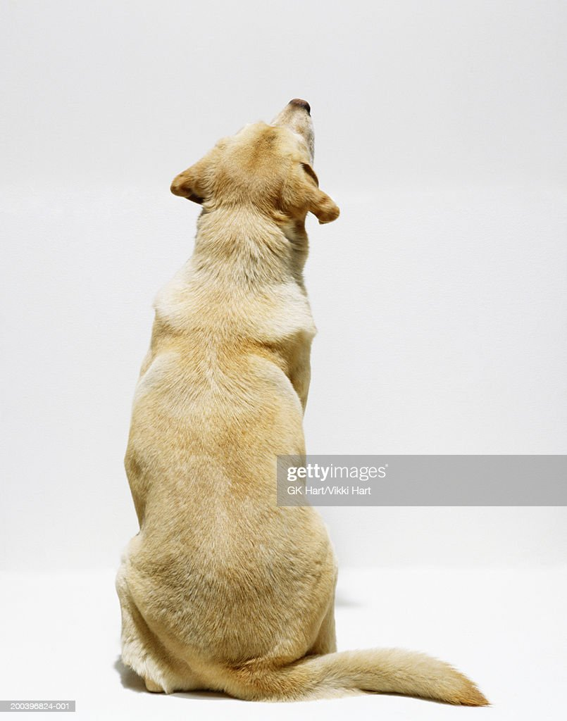 Yellow Labrador retriever looking upwards, rear view : Stock Photo