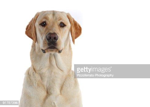 Yellow Labrador Retriever : Stock Photo
