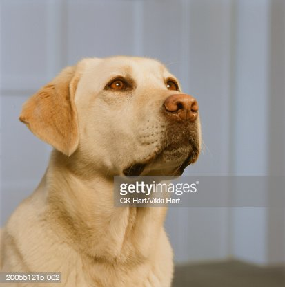 Yellow Labrador retriever sitting in front of door, close-up : Stock Photo