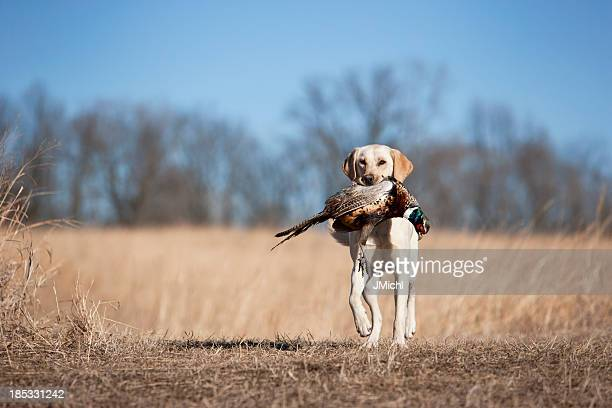 Yellow Labrador Retrieving a Rooster Pheasant in Midwest.
