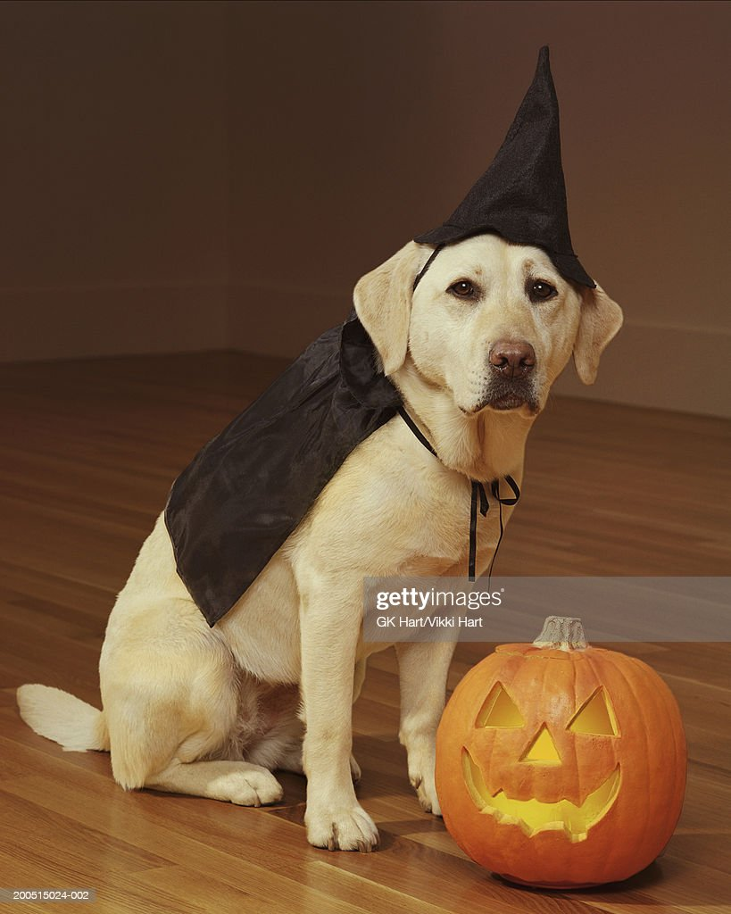 yellow labrador wearing halloween costume portrait stock photo - Halloween Costumes For Labradors