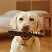 Yellow Labrador with remote control in mouth, portrait