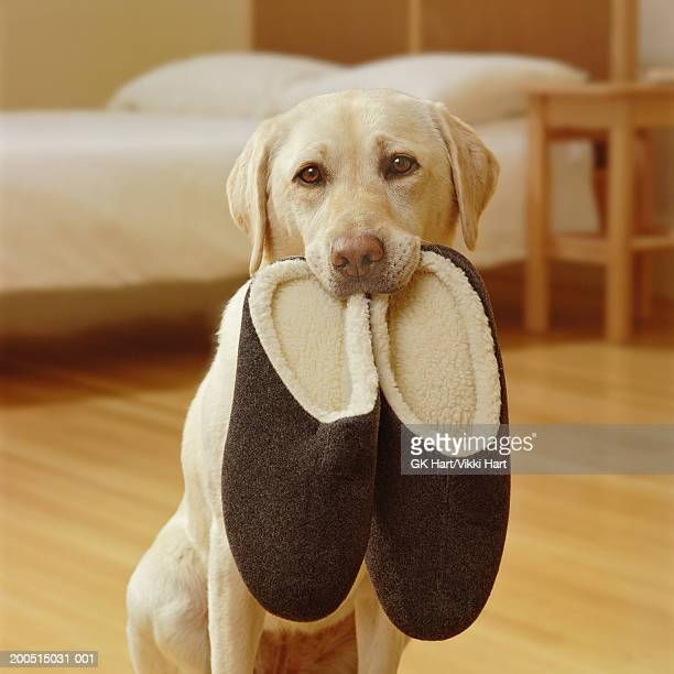 Yellow Labrador with slippers in mouth, portrait