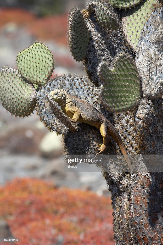 Yellow Land iguana in Galapagos Island on cactus