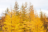 Yellow larch. Taimyr Peninsula, tundra. Deep autumn Cloudy autumn day