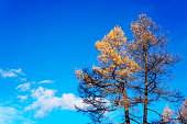 Yellow larch with blue sky in the background in autumn
