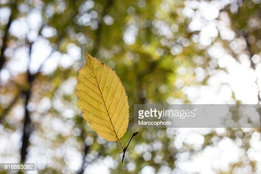 Yellow leaf falling from the tree in autumn : Stock Photo