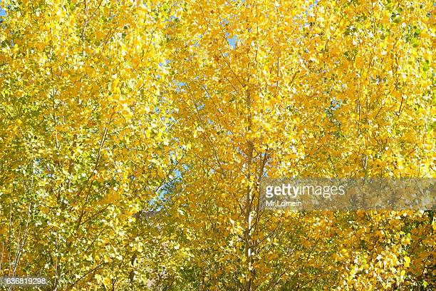 Yellow leafs tree in autumn