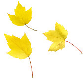 Yellow Leaves Isolated