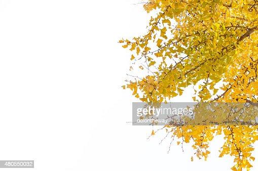 Yellow leaves : Stock Photo