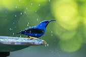 Beautiful Yellow Legged Honeycreeper standing on a water bath as he is being showered with water.  Stunning image in high focus and resolution.