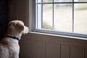 Yellow llabrador retriever by window