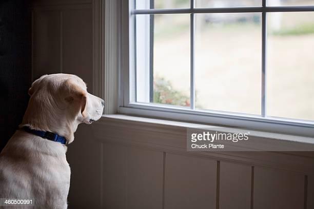 Yellow llabrador retriever by window