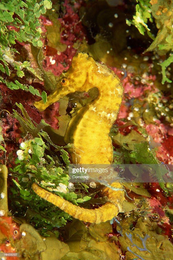 Yellow longsnout seahorse : Stock Photo