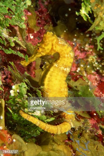 Yellow longsnout seahorse : Stock Photo