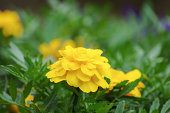 Marigold with Yellow Flower