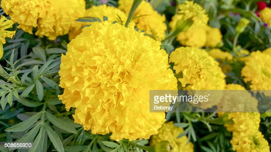 Yellow Marigolds Flower in the Garden : Stock Photo