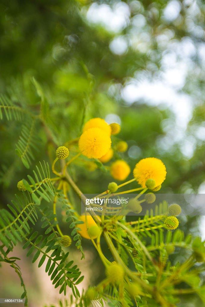 Flores mimosa amarillas : Foto de stock