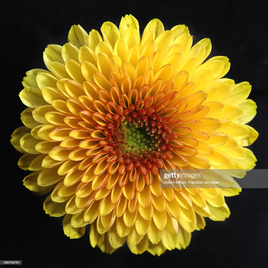 Yellow Mini-Chrysanthemum on black