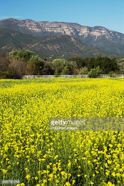 Yellow mustard and Topa Topa mountains in spring upper Ojai California