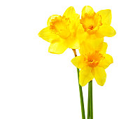 Yellow narcissi isolated over the white background with copyspace