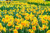 Yellow narcissus flowers. Beautiful spring flowers in Netherlands.