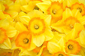Yellow spring narcissus close up