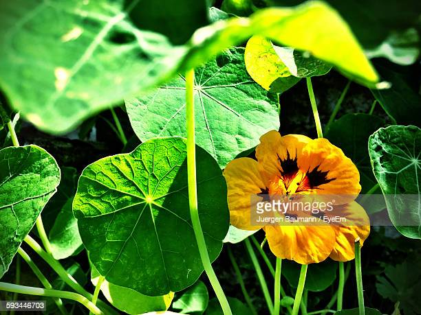 Yellow Nasturtium Blooming In Lawn