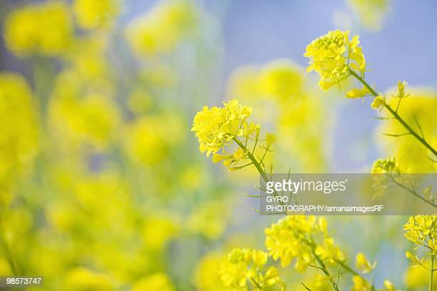 Yellow oilseed rape flowers
