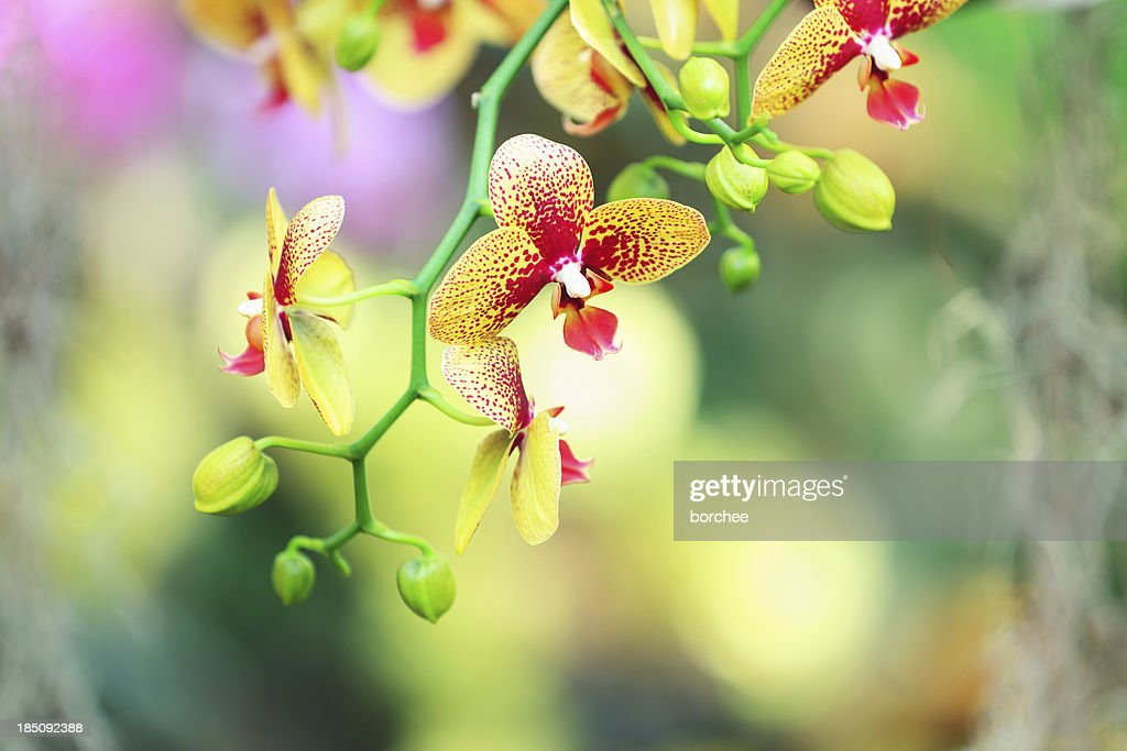 Yellow Orchid : Stock Photo