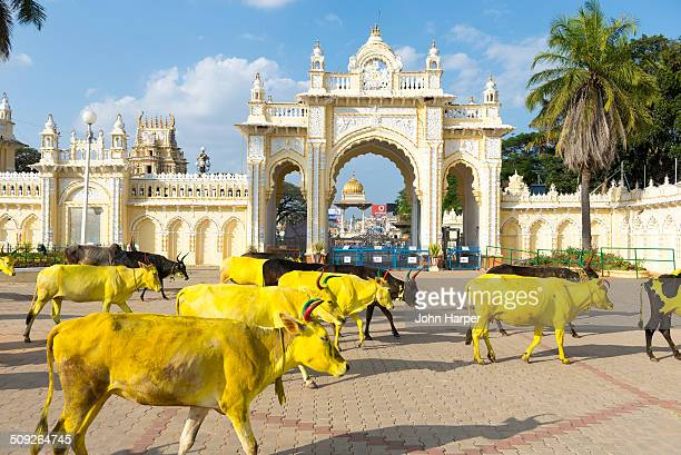 Yellow Painted cows in Mysore Palace, India