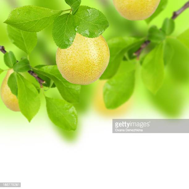 Yellow pears on the tree
