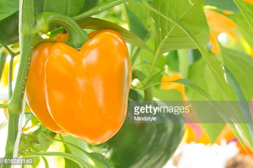 Yellow pepper growing in the garden : Stock Photo