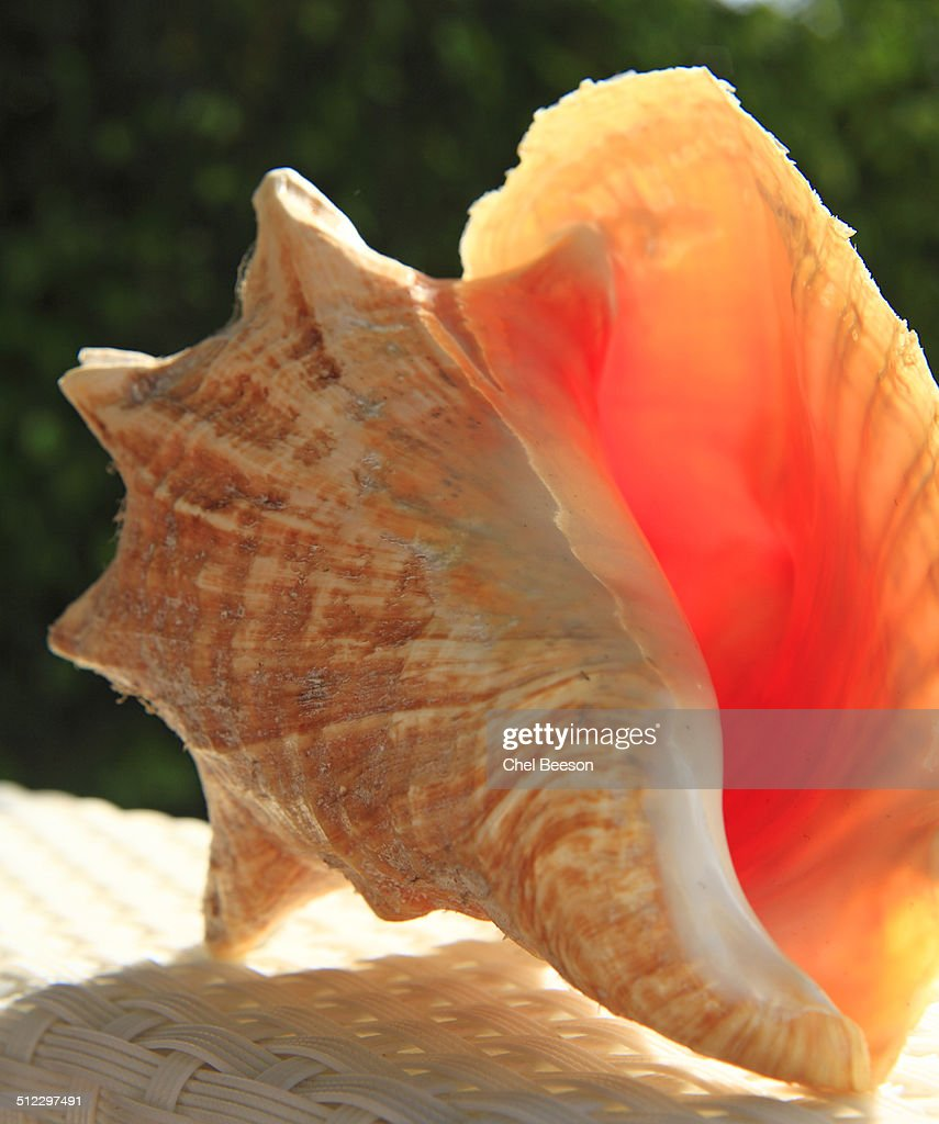 yellow pink conch seashell Turks and Caicos