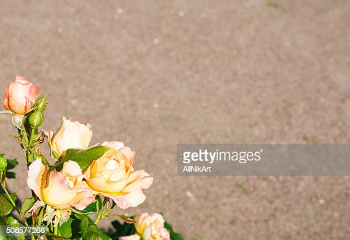 Yellow Pink Roses Floral background. Copy space : Bildbanksbilder