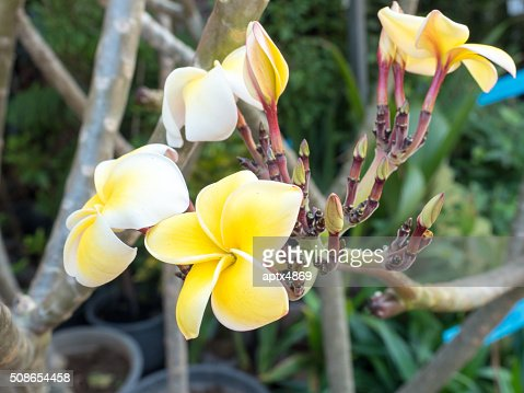 Yellow Plumeria tree flowers : Stock Photo