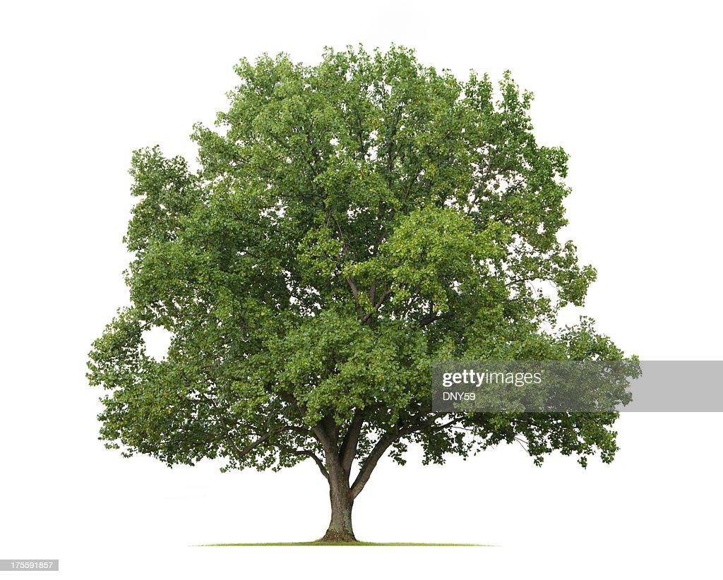 Tulip Tree Stock Photos and Pictures Getty Images