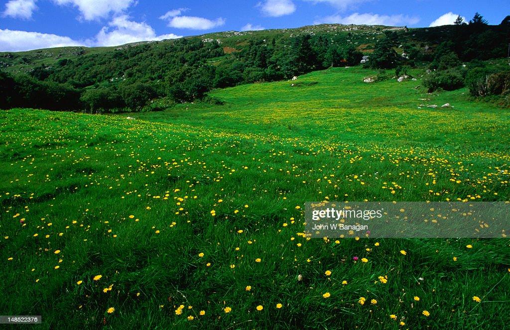 Yellow primroses in field.