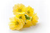closeup of yellow primroses on white background