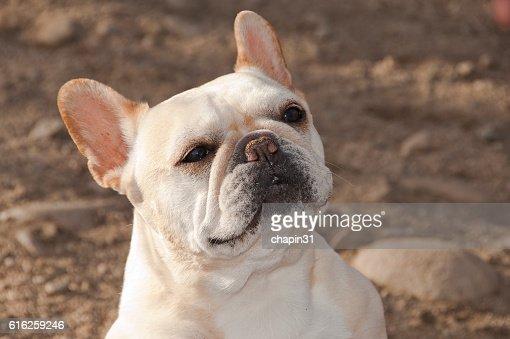 Yellow Pug Portrait : Foto de stock