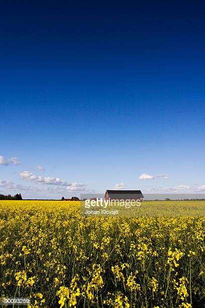 Yellow rape seed field and red barn under blue sky