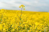Yellow Rapeseed Field. Landscape. Rural area nature.