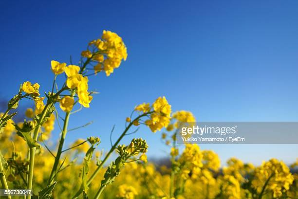 Yellow Rapeseed Flowers In Field Against Clear Sky