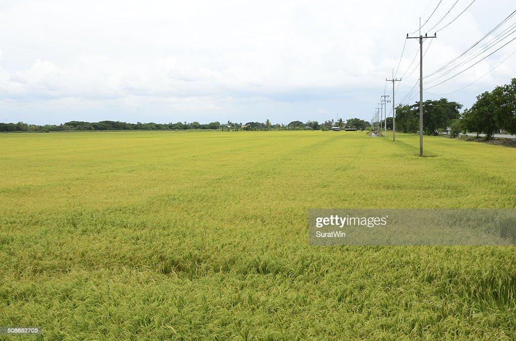 Yellow rice field : Stock Photo