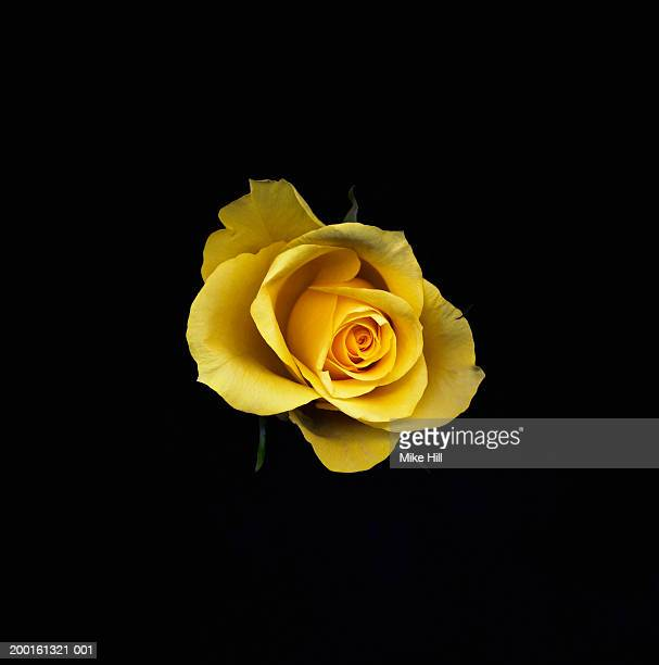 Yellow rose against black background, close-up